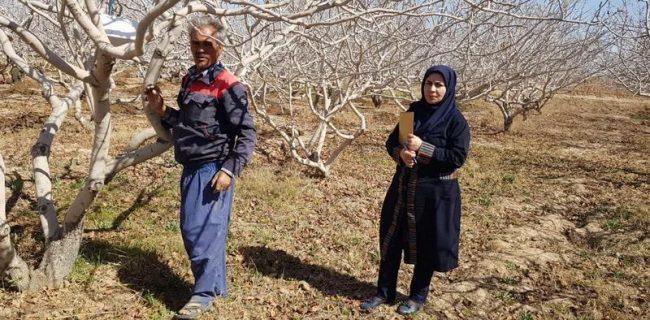 آغاز نصب تله فرمونی آفت پروانه چوبخوار درختان پسته در باغات رستاق